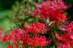 ヒガンバナと蝶